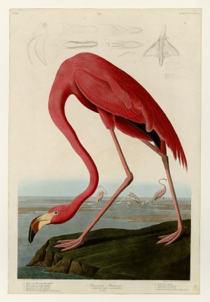 Flamingo folio print by John James Audubon (courtesy University of Pittsburgh)