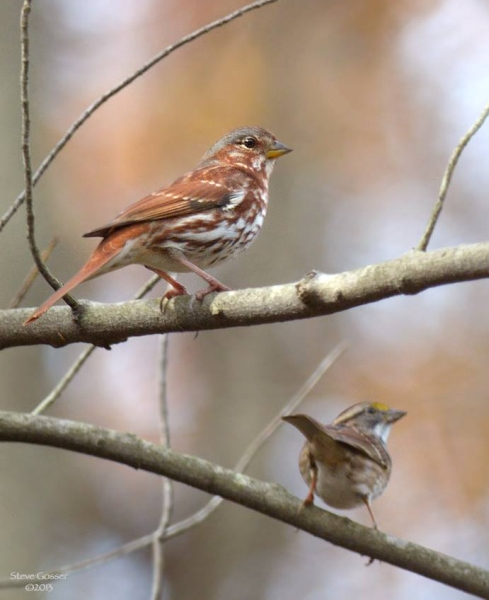 Fox sparrow and white-throated sparrow (photo by Steve Gosser)