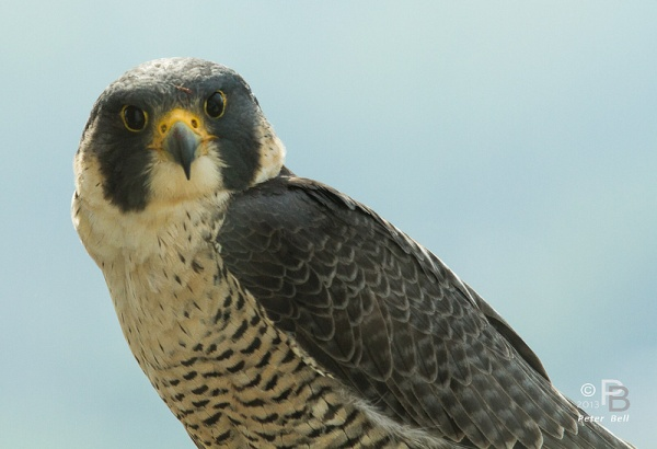 Peregrine falcon, Dorothy (photo by Peter Bell)