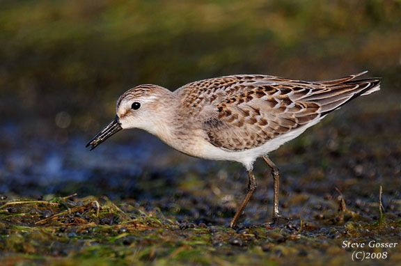 Semipalmated sandpiper (photo by Steve Gosser)