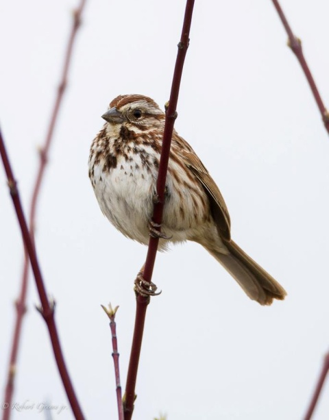 Song Sparrow (photo by Bobby Greene)