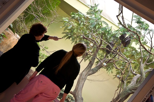 Malayan flying foxes at the Canary's Call exhibit (photo courtesy of the National Aviary)