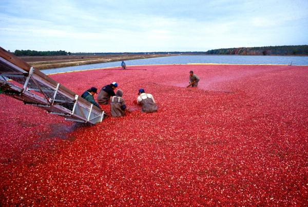 Cranberry harvest in New Jersey (photo from Wikimedia Commons)