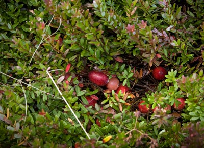 fruit_cranberry_plant_rsz2_wikiRipened cranberries on the plant (photo from Wikimedia Commons)