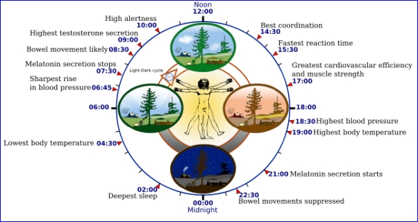 Human biological clock (image from Wikimedia Commons)