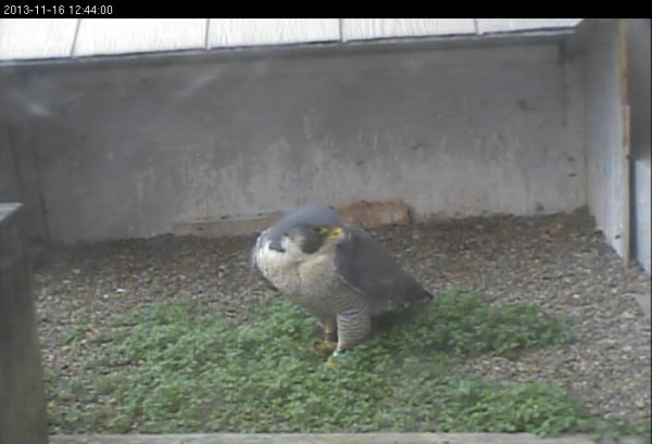 Peregrine visiting the Gulf Tower nest, 16 Nov  2013 (photo from the National Aviary falconcam at Gulf Tower)
