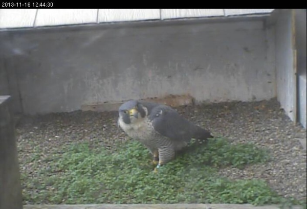 Peregrines at the Gulf Tower nest, 16 Nov 2013 (photo from the National Aviary falconcam at Gulf Tower)