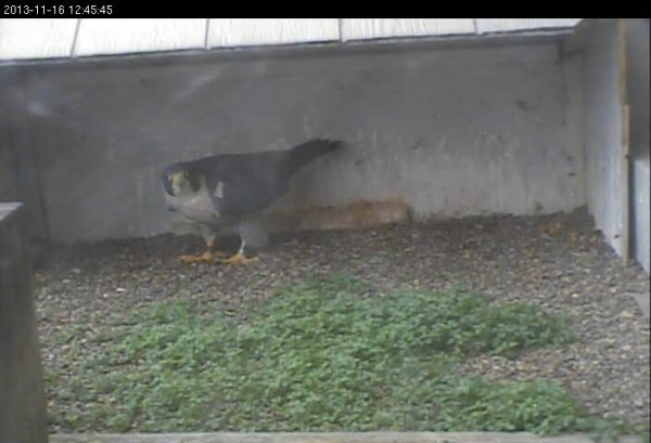 Peregrine at the Gulf Tower nest, 16 Nov 2013 (photo from the National Aviary falconcam at Gulf Tower)