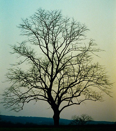Bare tree at sunset, Philadelphia (photo from Wikimedia Commons)