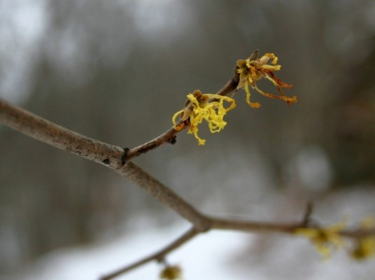 Witch hazel blooming in Schenley Park, 28 Nov 2013 (photo by Kate St. John)