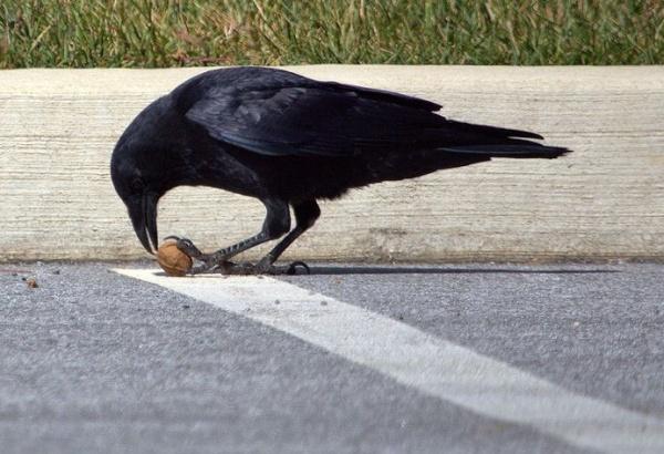 American crow (photo by John Beatty)
