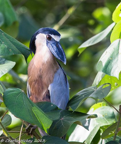 Boat-billed heron (photo by Charlie Hickey)