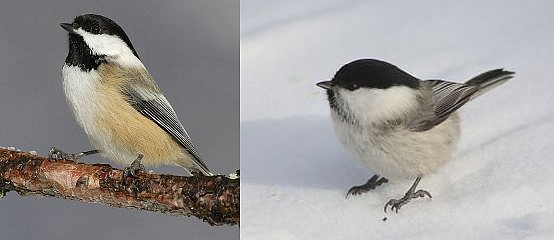 Black-capped chickadee, Willow tit (photos from Wikimedia Commons)