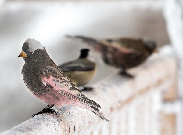 Black rosy-finch (photo by Steve Valasek)