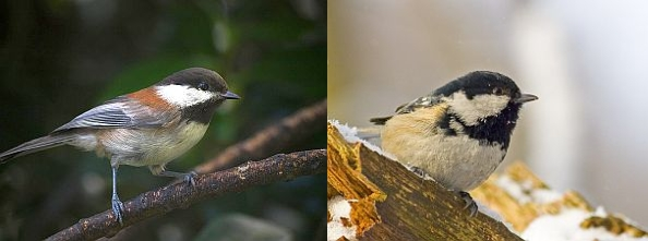 Chestnut-backed chickadee, Coal tit (photos from Wikimedia Commons)