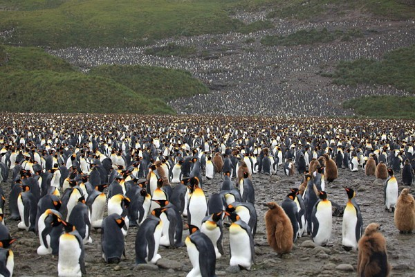 King Penguins at Salisbury Plain, South Georgia (photo from Wikimedia Commons)