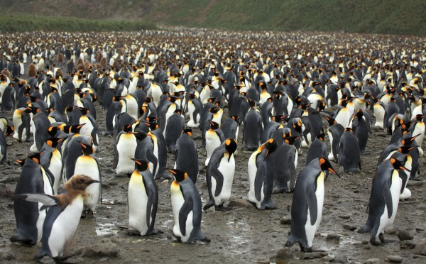 King penguin colony on Salisbury Plain, South Georgia (photo from Wikimedia Commons)
