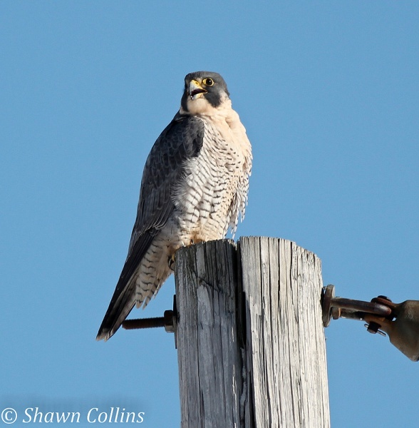 Peregrine falcon at Presque Isle State Park, 29 Nov 2013 (photo by Shawn Collins)