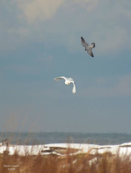 Peregrine falcon attacking snowy owl at Gull Point, Erie, PA (photo by Steve Gosser)