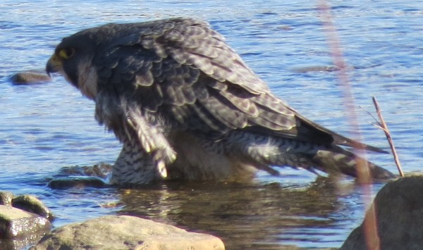 Peregrine bathing in the Mon River, 28 Dec 2013 (photo by Michelle Kienholz)