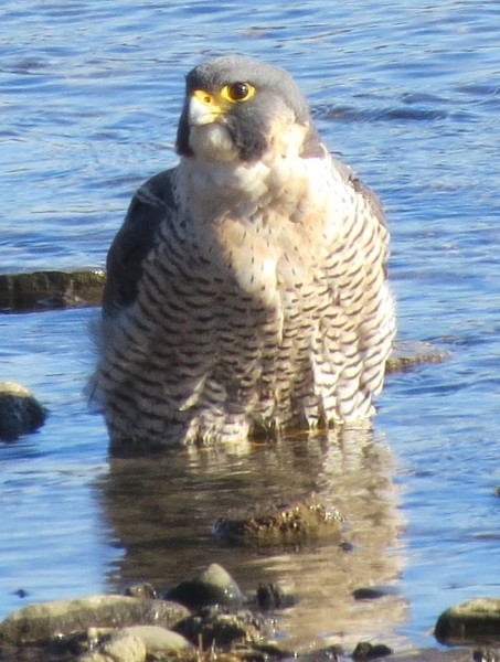 Peregrine bathing in the Monongahela River (photo by Michelle Kienholz)