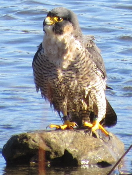 Peregrine bathing in the Mon River at Duck Hollow (photo by Michelle Kienholz)