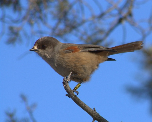 Siberian Jay (photo from Wikimedia Commons)