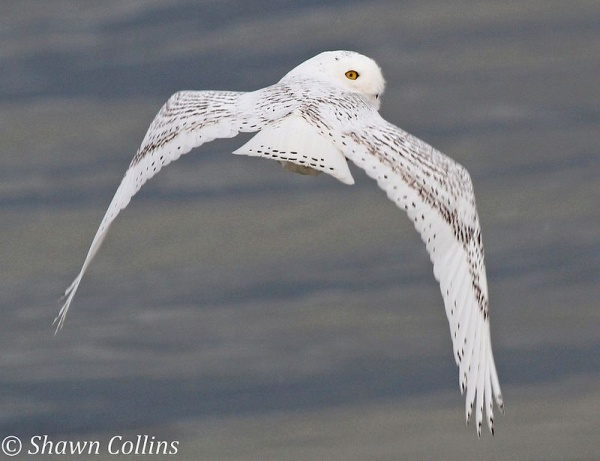 Snowyowl atPresque Isle State Park, 29 Nov 2013 (photo by Shawn Collins)
