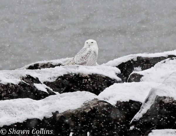 Snowy owl on the breakwater at Presque Isle State Park,29 Nov 2013 (photo by Shawn Collins)