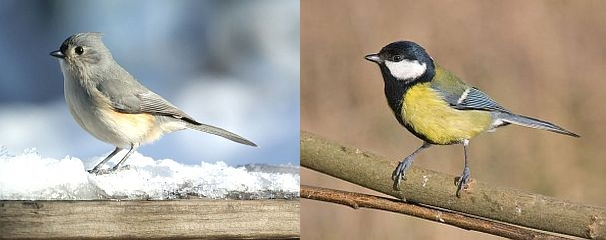 Tufted titmouse, Great tit (photos from Wikimedia Commons)