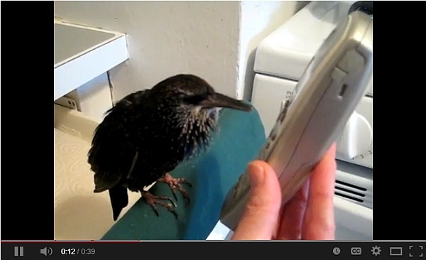 Beakie the starling talks on the phone (screenshot from YouTube video)