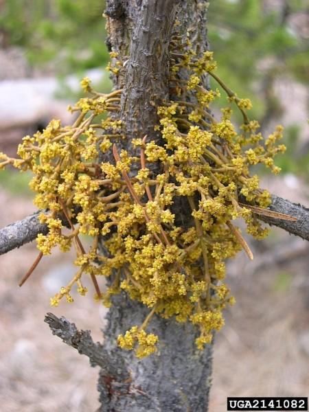 Dwarf mistletoe, Arceuthobium americanum, male plant (photo by Brytten Steed, USDA Forest Service, Bugwood.org)