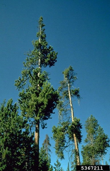 Dwarf mistletoe, Arceuthobium americanum, damage to lodgepole pine (photo by Mike Schomaker, Colorado State Forest Service, Bugwood.org)
