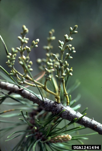 Dwarf mistletoe, Arceuthobium americanum, female plant (photo by John W. Schwandt, USDA Forest Service, Bugwood.org)