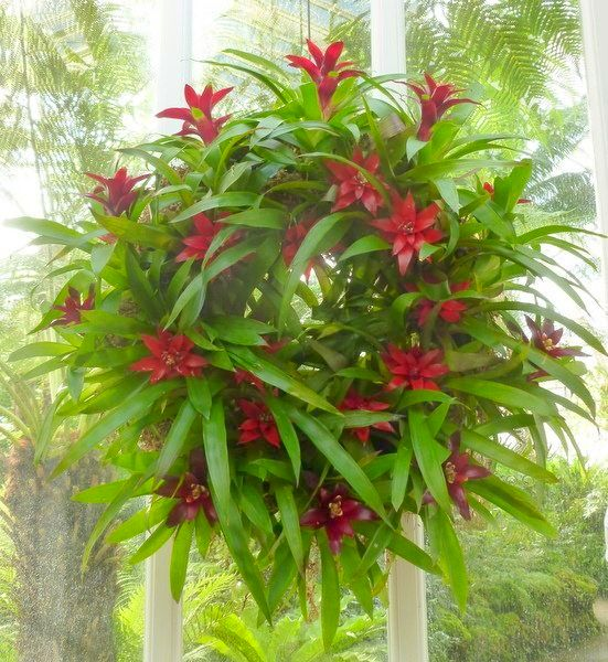 Bromeliad Christmas wreath at Phipps Conservatory (photo by Dianne Machesney)