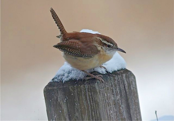 Carolina wren in winter (photo by Marcy Cunkelman)