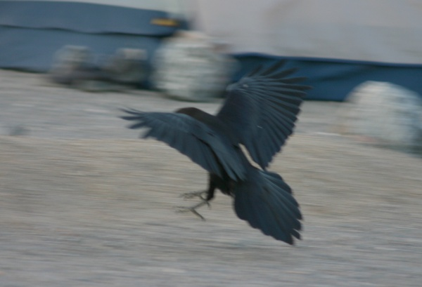 Common raven landing near a tent at a campsite in Death Valley, as seen from the back (photo from Wikimedia Commons)