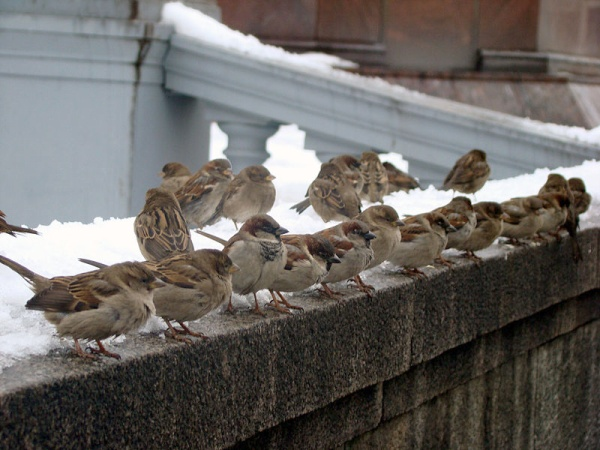 House sparrows in snow in Moscow (photo from Wikimedia Commons)