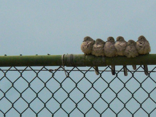 Inca doves in a huddle (photo by Penny Meyer via Flickr, Creative Commons License)