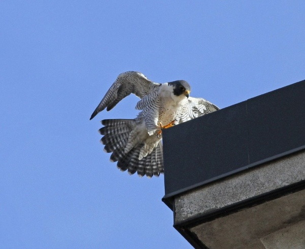 Peregrine, Mo, landed briefly on the corner, Canton, OH (photo by Chad+Chris Saladin)