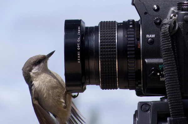 Pygmy nuthatch on camera (photo by Ed Sweeny (Navicore) via Wikimedia Commons)