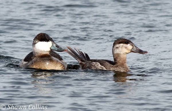 Ruddy ducks at Conneaut Lake, PA in January (photo by Shawn Collins)