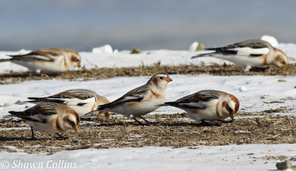 Snow buntings, Crawford County, Jan 2014 (photo by Shawn Collins)