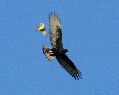Tropical kingbird attackes a zone-tailed hawk (photo by barloventomagico, Creative Commons license via Flickr)