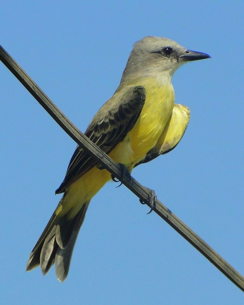 Tropical kingbird (photo by barloventomagico, Creative Commons license via Flickr)