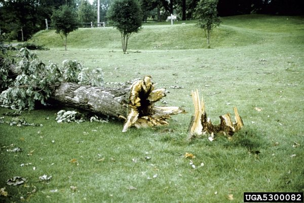 Bur oak toppled by armillaria root rot (Joseph O'Brien, USDA Forest Service, Bugwood.org)