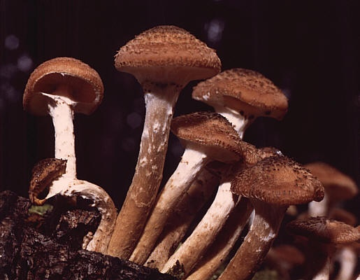 Armillaria ostoyae (photo from Wikimedia Commons)