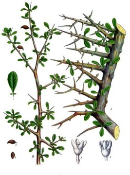 Commiphora myrrha produces myrrh (image from Wikimedia Commons)