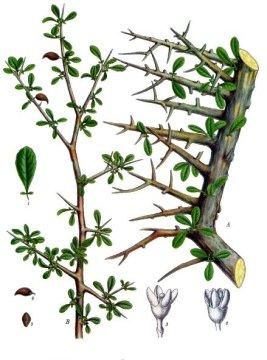 Commiphora myrrha produces myrrh (image from Wikimedia Commons)