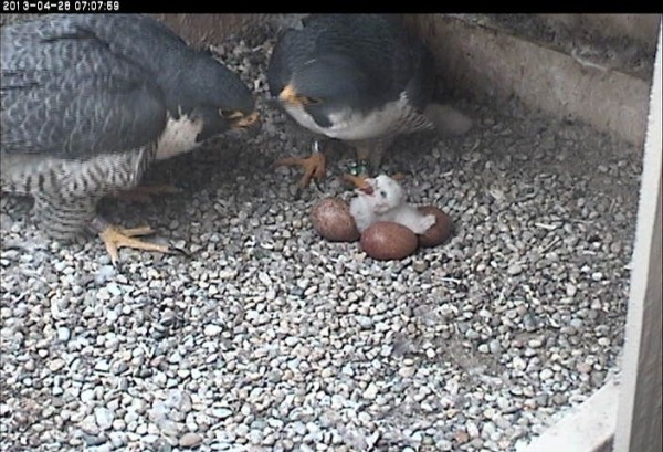 Dorothy, E2 and 4-day-old Silver Boy, 28 April 2013 (photo from the National Aviary falconcam at University of Pittsburgh)